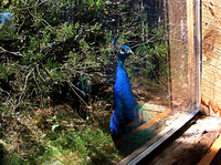 Peacock_office