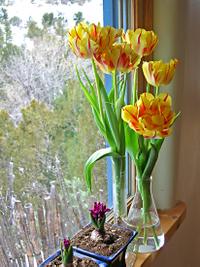 Tulips_crocus_20408_72