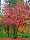 Red_maple_nov